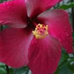 800px-Gumamela_Flower